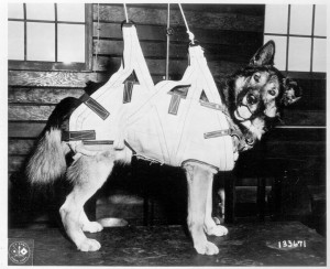 Dog-in-parachute-harness